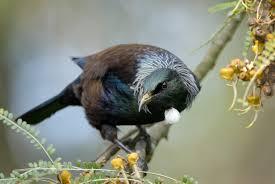 tuis opinions on tui bird