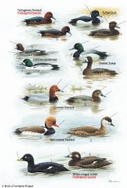 waterfowl identification images reverse search