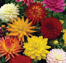 dahlias flowers bulk dahlia yellow flower at wholesale prices