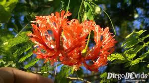 Japanese Lantern Plant Hibiscus Schizopetalus Japanese Lantern Hibisceae Hibisco