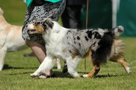 australian shepherd top speed australian shepherds u2013 wispafete kennels