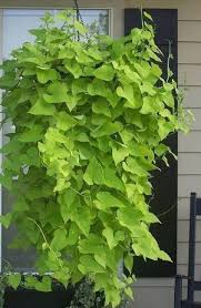 Patio Potato Planters If You Want To Grow A Sweet Potato Vine Plant All You Need To Do