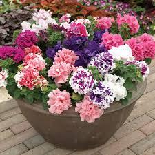 petunia flowers petunia pirouette mixed 30