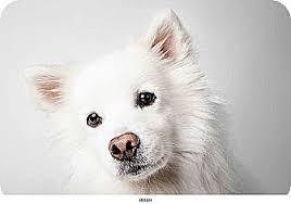 american eskimo dog a z new york ny american eskimo dog mix meet roger a dog for adoption