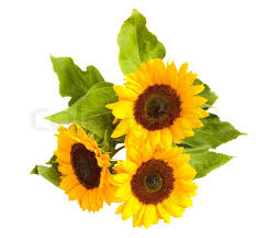 bouquet of sunflowers bright sunflowers border isolated on white background stock