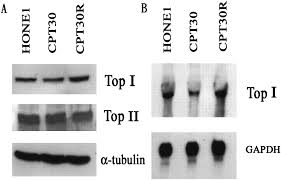 novel mutation of topoisomerase i in rendering cells resistant to