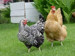 backyard chickens with hannah kirshner heritage radio network