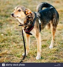 3 legged australian shepherd three leg dog stock photos u0026 three leg dog stock images alamy
