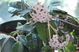 hoya plant care how to grow a hoya plant pistils nursery