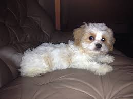 bichon frise 4 months old cavachon a cross between the cavalier king charles spaniel and