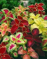 this caladium mix can stand up to the heat and give you great