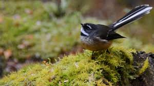 new zealand forest and mountain birds birds