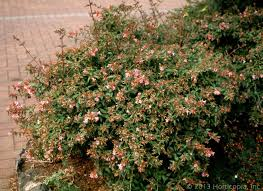 shrubs dooley landscape designs albuquerque