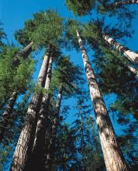 douglas fir tree douglas fir tree britannica