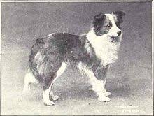 belgian sheepdog history shetland sheepdog wikipedia