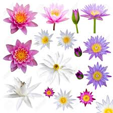 isolate many lotus flowers with small colorful flowers a variety