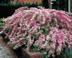 Flowering Shrubs That Like Full Sun - best 25 flowering shrubs for shade ideas on pinterest shade