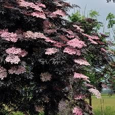 black lace elderberry at wayside gardens