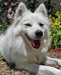 american eskimo dog black eskie the american eskimo american eskimo dog pinterest