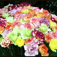 bulk carnations bulk wholesale carnations for weddings white pink carnations