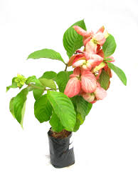 buy mussaenda pink color flower plant pack of 6 online at best