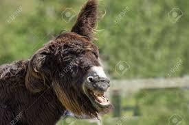 dumb animal stupid looking jackass hairy laughing donkey funny