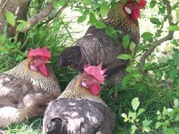 Chickens Backyard 290 Best Chickens Images On Pinterest Backyard Chickens Chicken