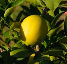 When Does A Lemon Tree Produce Fruit - lemon trees for sale florida