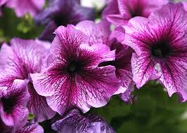 Plants That Don T Need Much Sun How To Grow Petunias That Will Bloom All Summer