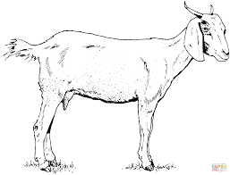 interesting goat animal coloring pages wild mountain goat