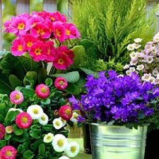 balkon grã npflanzen balkonpflanzen kaufen tipps zum kauf balkonpflanzen