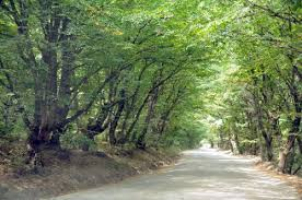 117 driving an road with trees that touch and form a canopy