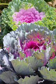 flowering kale growing conditions u2013 how to grow ornamental kale plants