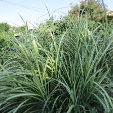 ornamental grasses dallas garden buzz