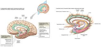 Thalamus Part Of The Brain Brain And The Cranial Nerves