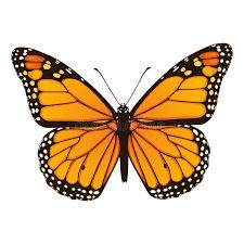 monarch butterfly vector illustration stock vector