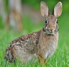 eastern cottontail wikipedia