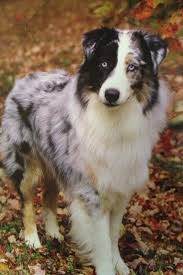 double r australian shepherds black bi australian shepherd google search animals pinterest