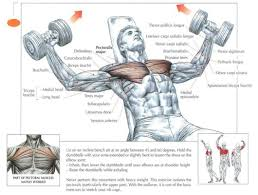 Incline Bench Muscle Group Medifit Biologicals Chest Pectoralis Workout