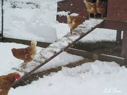 keeping chickens through the winter community chickens