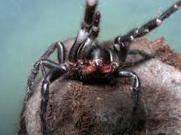 Male Spider Anatomy Funnelweb Spiders At Spiderzrule The Best Site In The World