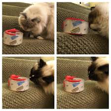 why does my cat love adhesives on tape and glue