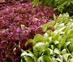 lettuce shows master gardener program