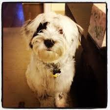 6 month old bichon frise for sale tibetan terrier bichon frise cross tibetan terriers pinterest