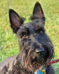bedlington terrier seattle scottish terrier wikipedia