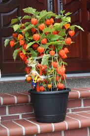 japanese lantern plant pan american nursery