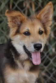 australian shepherd rottweiler mix puppies for sale german shepherd border collie mix shollie one of the smartest breeds