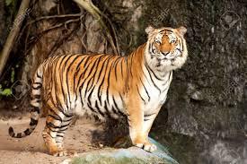 bengal tiger stock photos royalty free bengal tiger images and