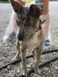 afghan hound adoption florida dogs for adoption catahoula leopard dog in north fort myers