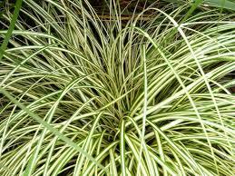 carex oshimensis evergold sedge evergold carex hachijoensis